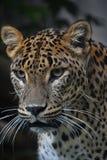 Κλείστε επάνω το πορτρέτο της περσικής λεοπάρδαλης Στοκ Φωτογραφία