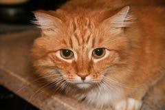 Κλείστε επάνω το πορτρέτο της χαριτωμένης μακρυμάλλους κόκκινης σιβηρικής γάτας με το εντυπωσιακό βλέμμα Ζώο στο σπίτι μας στοκ εικόνες με δικαίωμα ελεύθερης χρήσης