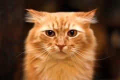 Κλείστε επάνω το πορτρέτο της χαριτωμένης μακρυμάλλους κόκκινης σιβηρικής γάτας με εντυπωσιακό το βλέμμα Ζώο στο σπίτι μας στοκ φωτογραφίες με δικαίωμα ελεύθερης χρήσης