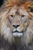 Κλείστε επάνω το πορτρέτο του αρσενικού αφρικανικού λιονταριού Στοκ εικόνα με δικαίωμα ελεύθερης χρήσης