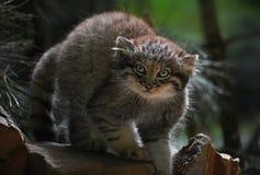 Κλείστε επάνω το πορτρέτο του γατακιού manul Στοκ Εικόνα
