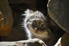 Κλείστε επάνω το πορτρέτο του γατακιού manul Στοκ εικόνες με δικαίωμα ελεύθερης χρήσης