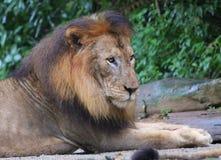 Κλείστε επάνω το πορτρέτο του λιονταριού στη φύση Στοκ Εικόνα