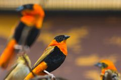 Κλείστε επάνω το πορτρέτο του πουλιού της Βαλτιμόρης oriole που σκαρφαλώνει σε έναν κλάδο δέντρων στοκ φωτογραφία