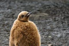 Κλείστε επάνω το πορτρέτο του χνουδωτού καφετιού νεοσσού Penguin βασιλιάδων ενάντια σε μια πεδιάδα του Σαλίσμπερυ υποβάθρου λάσπη στοκ εικόνα