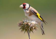 Κλείστε επάνω το πορτρέτο του goldfinch που απομονώνεται στο θολωμένο υπόβαθρο στοκ φωτογραφίες