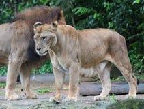 Κλείστε επάνω το πορτρέτο των λιονταριών στη φύση Στοκ Φωτογραφίες