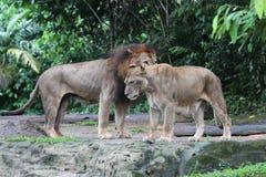 Κλείστε επάνω το πορτρέτο των λιονταριών στη φύση Στοκ φωτογραφία με δικαίωμα ελεύθερης χρήσης