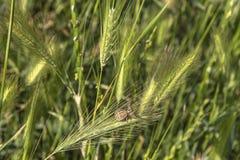 κλείστε επάνω το πράσινο λιβάδι, η μεγάλη αράχνη κάθεται στο φύλλο, τομέας με τη σίκαλη στοκ εικόνες