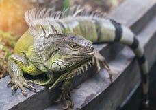 Κλείστε επάνω το πράσινο iguana Iguana iguana πορτρέτου στηργμένος σε φυσικό Στοκ φωτογραφία με δικαίωμα ελεύθερης χρήσης