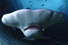 Κλείστε επάνω το πρόσωπο που πυροβολείται του μεγάλου καρχαρία Hammerhead που κολυμπά στα σαφή νερά των Μπαχαμών στοκ εικόνα με δικαίωμα ελεύθερης χρήσης