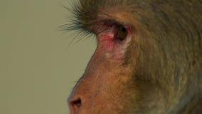 Κλείστε επάνω το πρόσωπο του ρήσου μακάκου macaques, Jaipur στην Ινδία στοκ φωτογραφίες