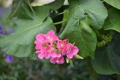 Κλείστε επάνω το ρόδινο λουλούδι και το πράσινο φύλλο στον κήπο Στοκ φωτογραφίες με δικαίωμα ελεύθερης χρήσης