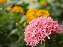 Κλείστε επάνω το ρόδινο λουλούδι Ixora και το μουτζουρωμένο πράσινο φύλλο στον κήπο Στοκ Εικόνες
