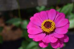 Κλείστε επάνω το ρόδινο υπόβαθρο λουλουδιών και bokeh τρόπου Στοκ Φωτογραφίες
