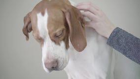 Κλείστε επάνω το ρύγχος του χαριτωμένου σκυλιού δεικτών με τα καφετιά σημεία Χέρι του ιδιοκτήτη που το σκυλάκι Λατρευτό σκυλί με  απόθεμα βίντεο