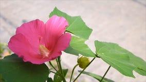 Κλείστε επάνω το σεληνιακό κόκκινο λουλούδι φιλμ μικρού μήκους