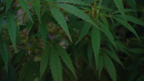 Κλείστε επάνω το στατικό πυροβολισμό του ψηλού φυτού μαριχουάνα με τους οφθαλμούς στον τομέα με τα φύλλα στο εσωτερικό αγρόκτημα  φιλμ μικρού μήκους