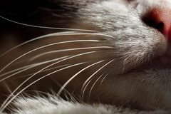 Κλείστε επάνω το στόμα, τη μύτη, το πηγούνι και τα μουστάκια της γάτας Μακρο βλαστός στοκ εικόνες