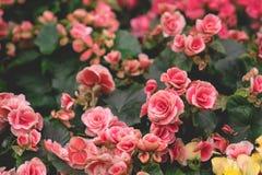 Κλείστε επάνω το τοπ κήπο άποψης του εκλεκτής ποιότητας ρόδινου ανθίζοντας μεγάλου Begonia ΛΦ στοκ φωτογραφία