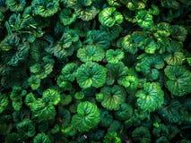 Κλείστε επάνω το τροπικό υπόβαθρο σύστασης caladium φύλλων φύσης πράσινο Στοκ Φωτογραφία