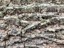 Κλείστε επάνω το υπόβαθρο σύστασης δέντρων φελλού, σύσταση φλοιών Στοκ Φωτογραφίες