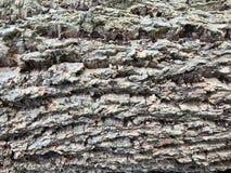 Κλείστε επάνω το υπόβαθρο σύστασης δέντρων φελλού, σύσταση φλοιών Στοκ Εικόνες