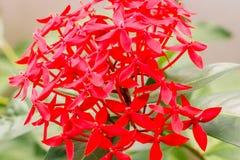 Κλείστε επάνω το φρέσκο λουλούδι Ixora ομάδας κόκκινο στον κήπο Στοκ Εικόνες