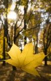 Κλείστε επάνω το χέρι κρατώντας έναν πορτοκαλή ή κόκκινο σφένδαμνο βγάζει φύλλα πέρα από το θολωμένο υπόβαθρο στοκ φωτογραφία με δικαίωμα ελεύθερης χρήσης