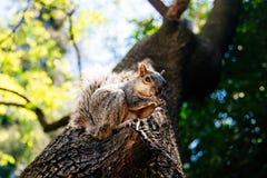 Κλείστε επάνω το χαριτωμένο καρύδι τρώγοντας έναν γκρίζο σκίουρο σε ένα πάρκο στοκ φωτογραφίες