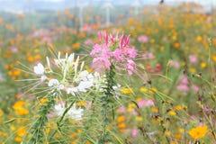 κλείστε επάνω το όμορφο ρόδινο τοπίο θαμπάδων λουλουδιών και μπλε ουρανού Στοκ Εικόνες
