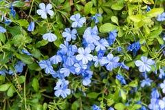 Κλείστε επάνω το auriculata Plumbago λουλουδιών Leadwort ακρωτηρίων Στοκ φωτογραφία με δικαίωμα ελεύθερης χρήσης