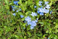 Κλείστε επάνω το auriculata Plumbago λουλουδιών Leadwort ακρωτηρίων Στοκ Φωτογραφίες