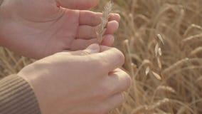 Κλείστε επάνω των αρσενικών χεριών αγροτών που κρατούν και που εξετάζουν τα αυτιά σίτου στον τομέα απόθεμα βίντεο