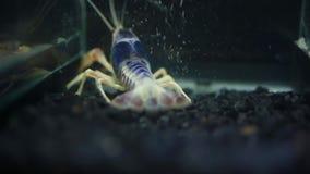 Κλείστε επάνω των αστακών στη δεξαμενή ψαριών απόθεμα βίντεο