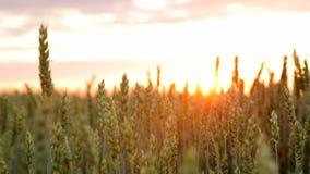 Κλείστε - επάνω των αυτιών που ταλαντεύονται στον αέρα στο ηλιοβασίλεμα Οι ακτίνες ήλιων ` s φωτίζουν τις ακίδες και εισάγουν το  απόθεμα βίντεο