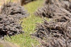 Κλείστε επάνω των δεσμών κομμένα lavenders συγκομισμένος fieds Στοκ Φωτογραφία