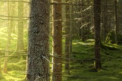 Κλείστε επάνω των ερυθρελατών στο πράσινο mossy δάσος στοκ εικόνες