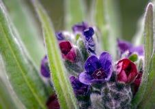 Κλείστε επάνω των ζωηρόχρωμων λουλουδιών Cynoglossum κυνηγόσκυλο-γλωσσών officinale στο χαρακτηριστικό βιότοπό τους των αμμόλοφων στοκ εικόνα