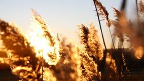 Κλείστε επάνω των κίτρινων εγκαταστάσεων στο όμορφο ηλιοβασίλεμα Χλόη που κινείται στον αέρα 4K απόθεμα βίντεο