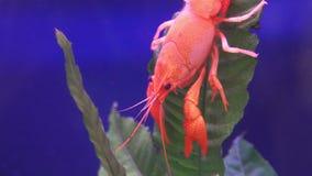 Κλείστε επάνω των κόκκινων αστακών στο υδρόβιο φυτό φύλλων απόθεμα βίντεο