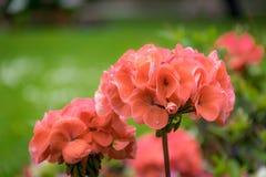 Κλείστε επάνω των κόκκινων λουλουδιών γερανιών στον κήπο στοκ φωτογραφίες με δικαίωμα ελεύθερης χρήσης