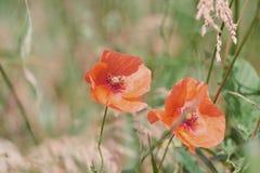 Κλείστε επάνω των κόκκινων λουλουδιών παπαρουνών στοκ φωτογραφία με δικαίωμα ελεύθερης χρήσης