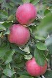 Κλείστε επάνω των κόκκινων μήλων σε έναν κλάδο Apple-δέντρων στον κήπο Στοκ εικόνα με δικαίωμα ελεύθερης χρήσης