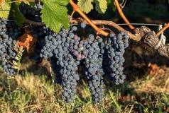 Κλείστε επάνω των κόκκινων merlot σταφυλιών στον αμπελώνα Medoc, Gironde, Aquitaine στοκ εικόνα με δικαίωμα ελεύθερης χρήσης