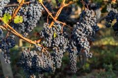 Κλείστε επάνω των κόκκινων merlot σταφυλιών στον αμπελώνα Medoc, Gironde, Aquitaine στοκ εικόνες