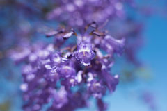 Κλείστε επάνω των λουλουδιών δέντρων Jacaranda Μαλακή εστίαση, ονειροπόλο backgroun στοκ φωτογραφίες με δικαίωμα ελεύθερης χρήσης