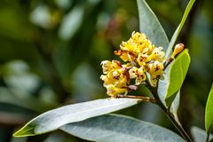Κλείστε επάνω των λουλουδιών Umbellularia δαφνών κόλπων Καλιφόρνιας  σκοτεινό υπόβαθρο στοκ εικόνες