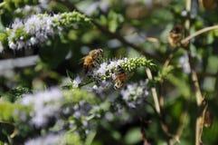 Κλείστε επάνω των μελισσών μελιού Καλιφόρνιας Στοκ Εικόνες
