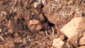 Κλείστε επάνω των μυρμηγκιών εργαζόμενος σκληρά από τη μυρμηγκοφωλιά φιλμ μικρού μήκους